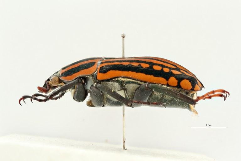 Mecynorhina (Chelorhinella) bouyeri pt L ZS PMax Scaled.jpeg