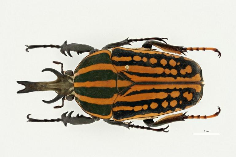 Mecynorhina (Chelorhinella) bouyeri ht D ZS PMax Scaled.jpeg