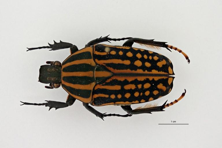 Mecynorhina (Chelorhinella) romyae pt D ZS PMax Scaled.jpeg