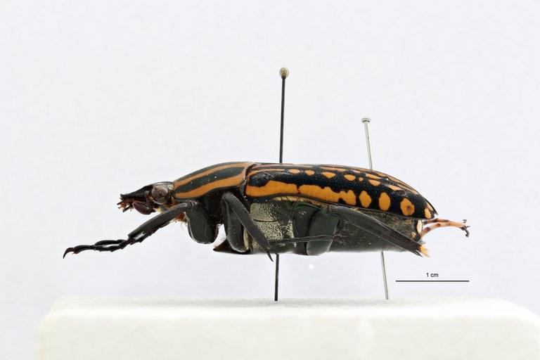 Mecynorhina (Chelorhinella) romyae pt L ZS PMax Scaled.jpeg