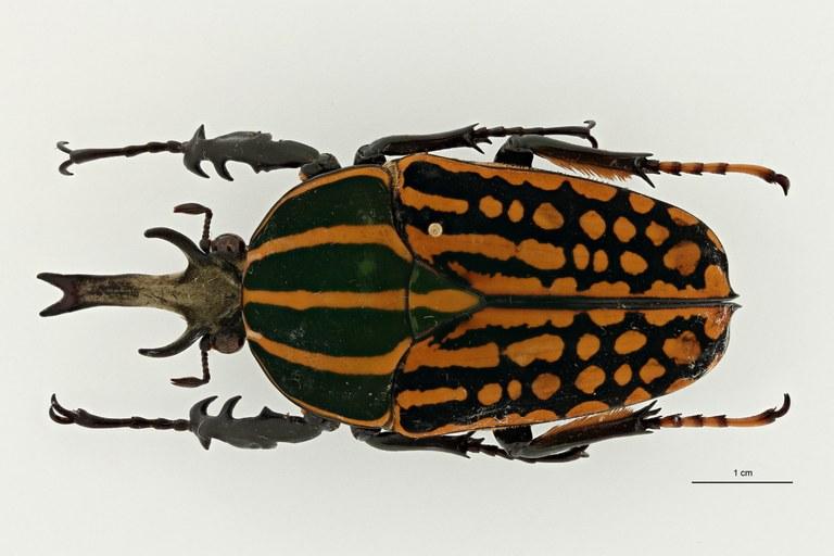 Mecynorhina (Chelorhinella) romyae ht D ZS PMax Scaled.jpeg