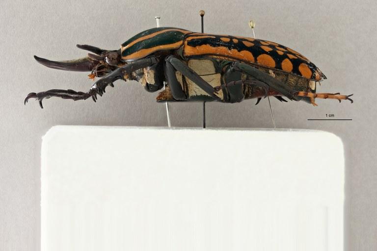 Mecynorhina (Chelorhinella) romyae ht L ZS PMax Scaled.jpeg