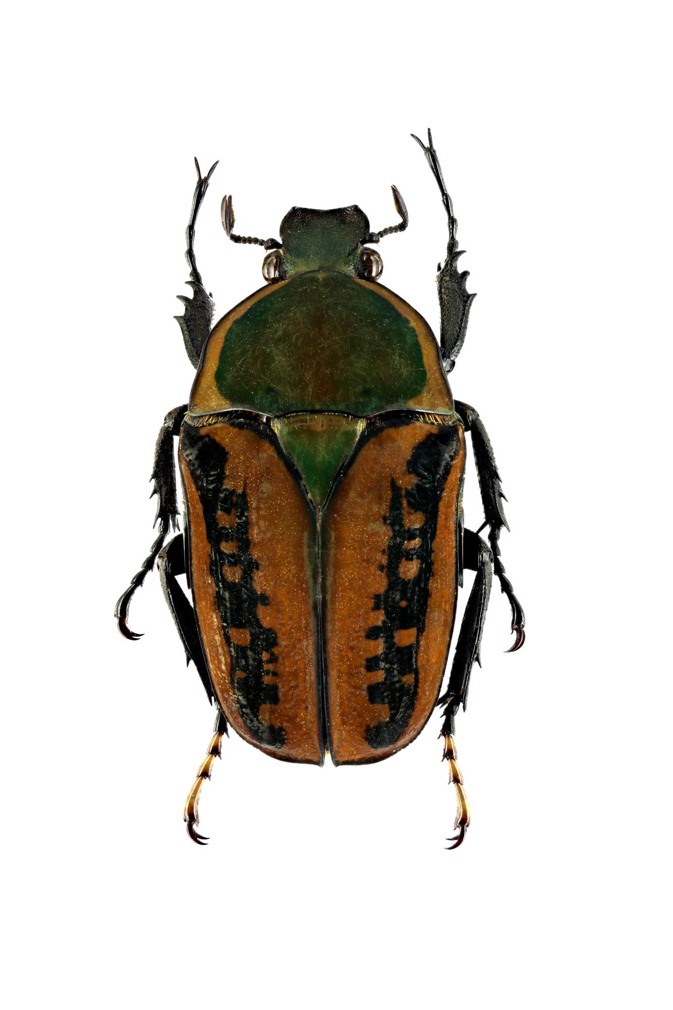 Mecynorhina (Megalorhina) harrisii haroldii 66346zs52.jpg