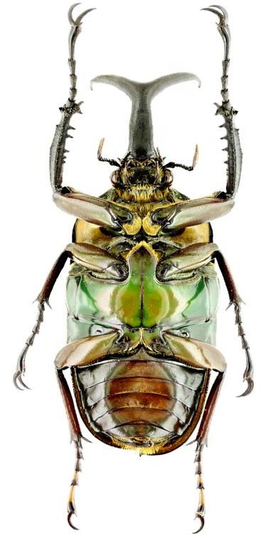 Mecynorhina (Megalorhina) harrisii haroldii 16107zs21.jpg
