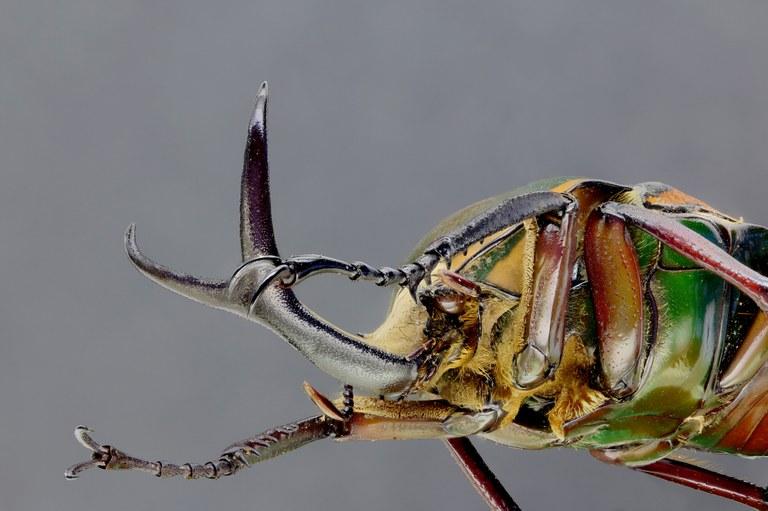 Mecynorhina (Megalorhina) harrisii haroldii 66304zs35.jpg