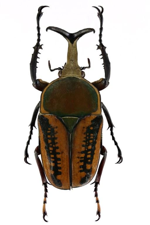 Mecynorhina (Megalorhina) harrisii haroldii 66338zs45.jpg