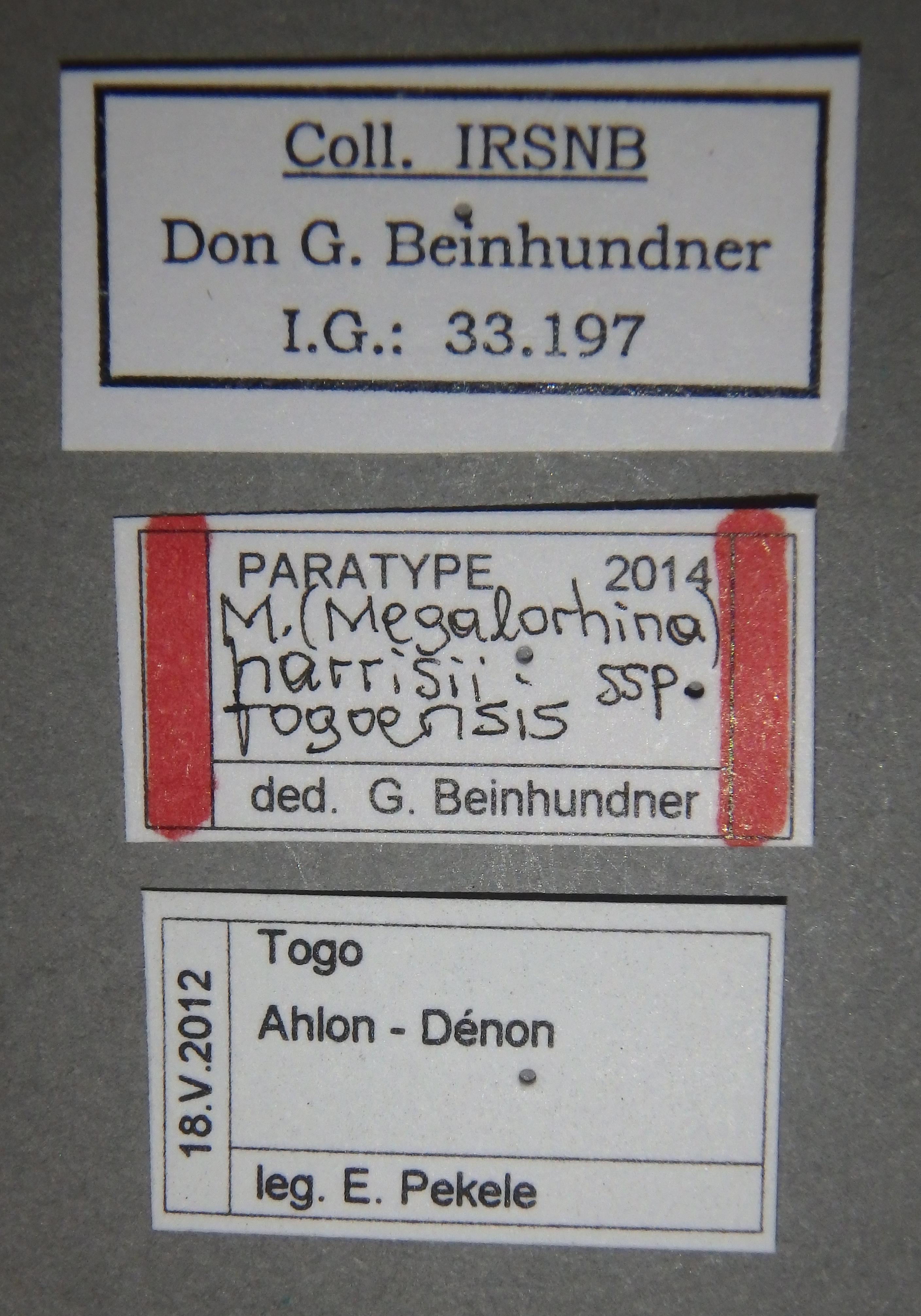 Mecynorhina (Megalorhina) harrisii subspecies togoensis pt1 Lb.JPG