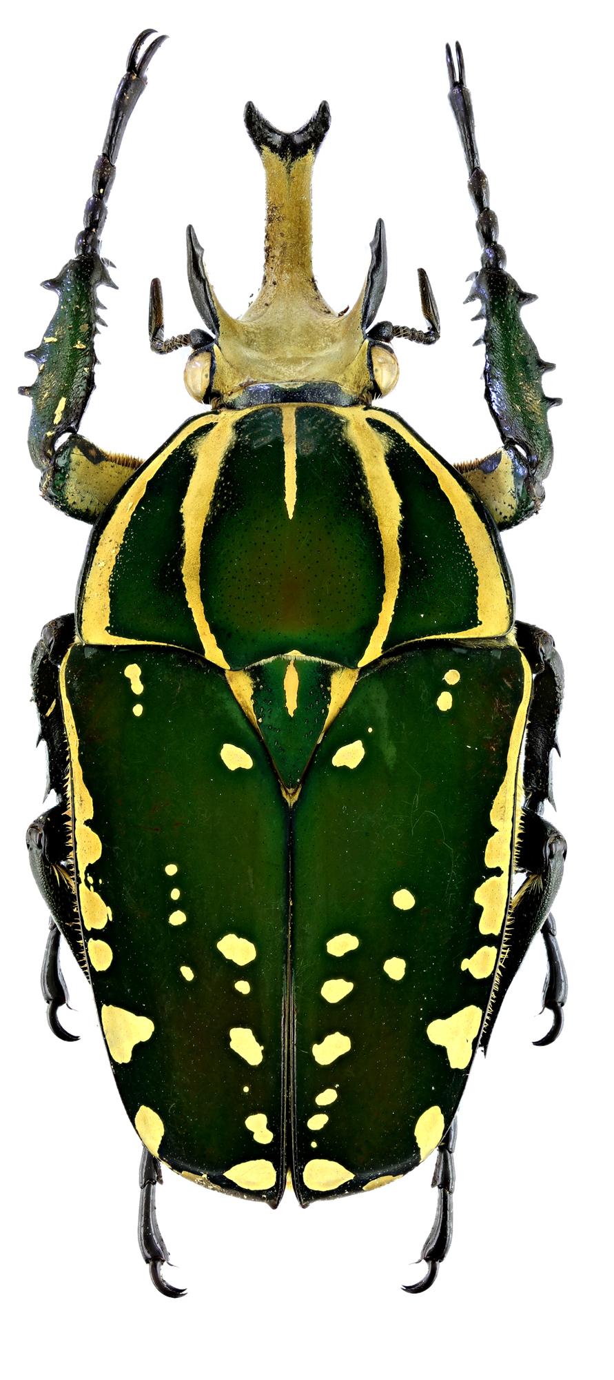 Mecynorhina polyphemus confluens 19162zs68.jpg