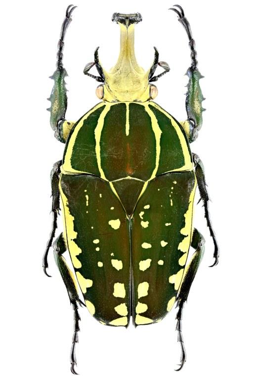 Mecynorhina polyphemus confluens 19152zs61.jpg