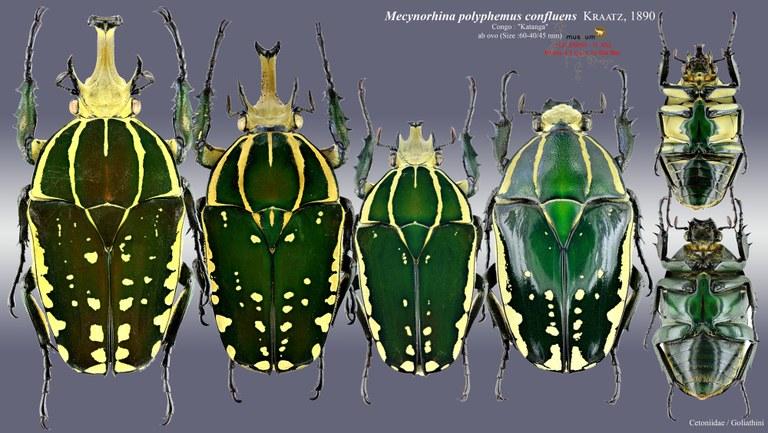 Mecynorhina polyphemus confluens.jpg