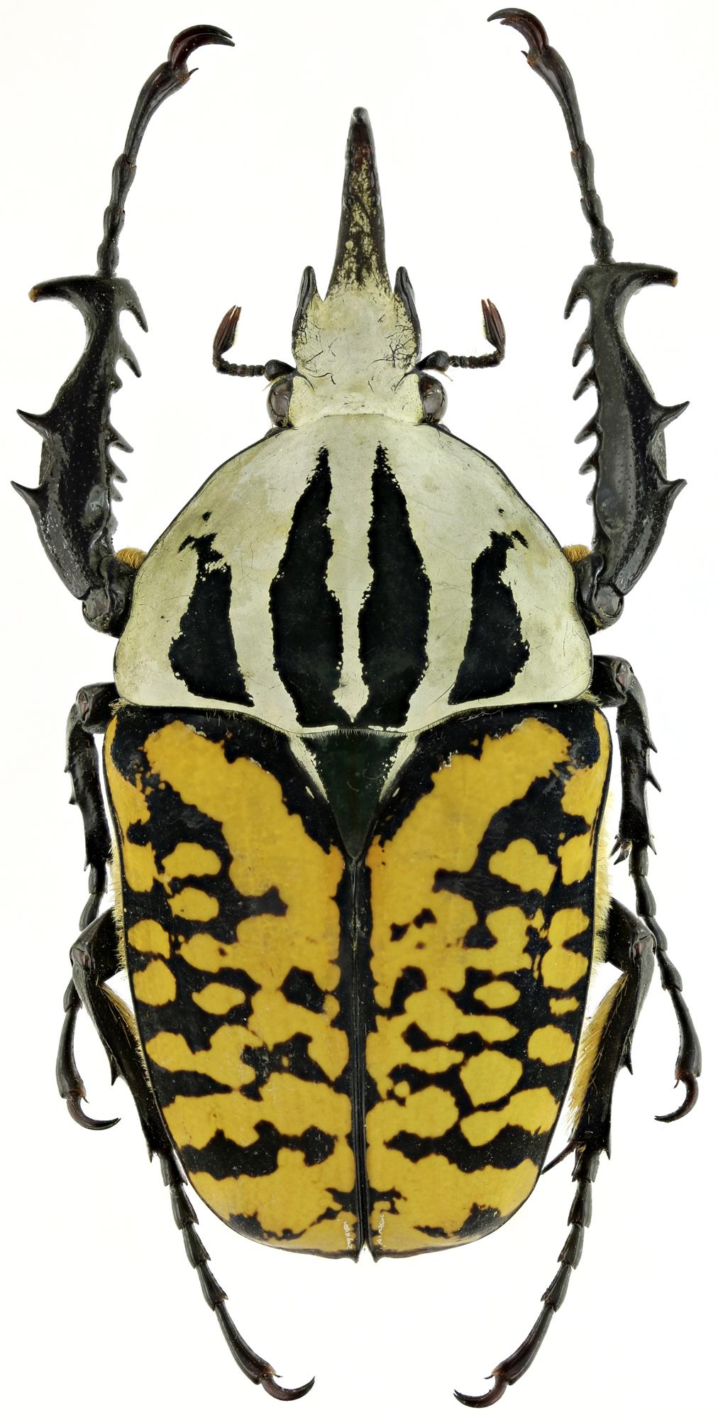 Mecynorhina (Mecynorrhinella) oberthuri kirchneri 19487zs97.jpg
