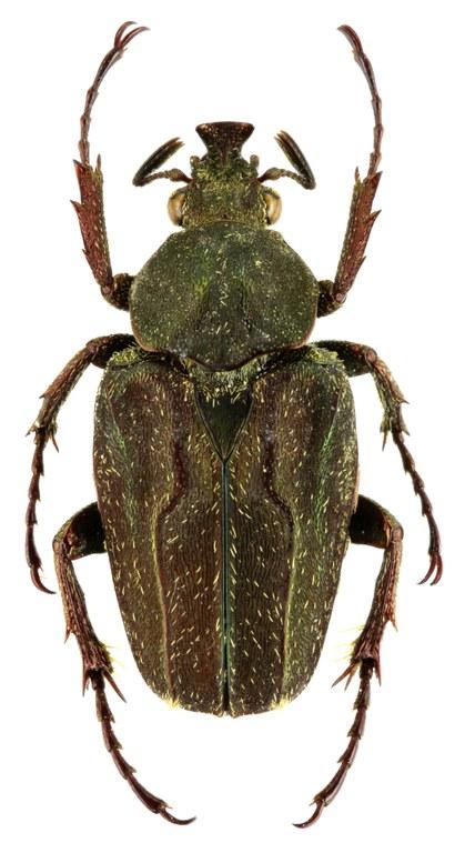 Mycteristes (Cephalocosmus) benesi 25863zs74.jpg