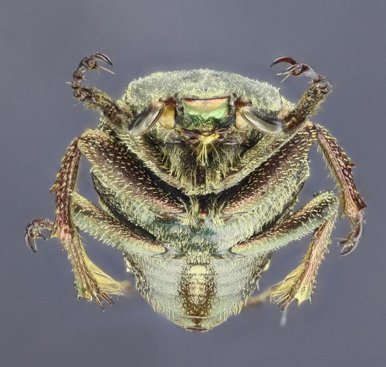 Mycteristes (Cephalocosmus) benesi 25898zs28.jpg