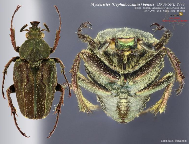 Mycteristes (Cephalocosmus) benesi.jpg
