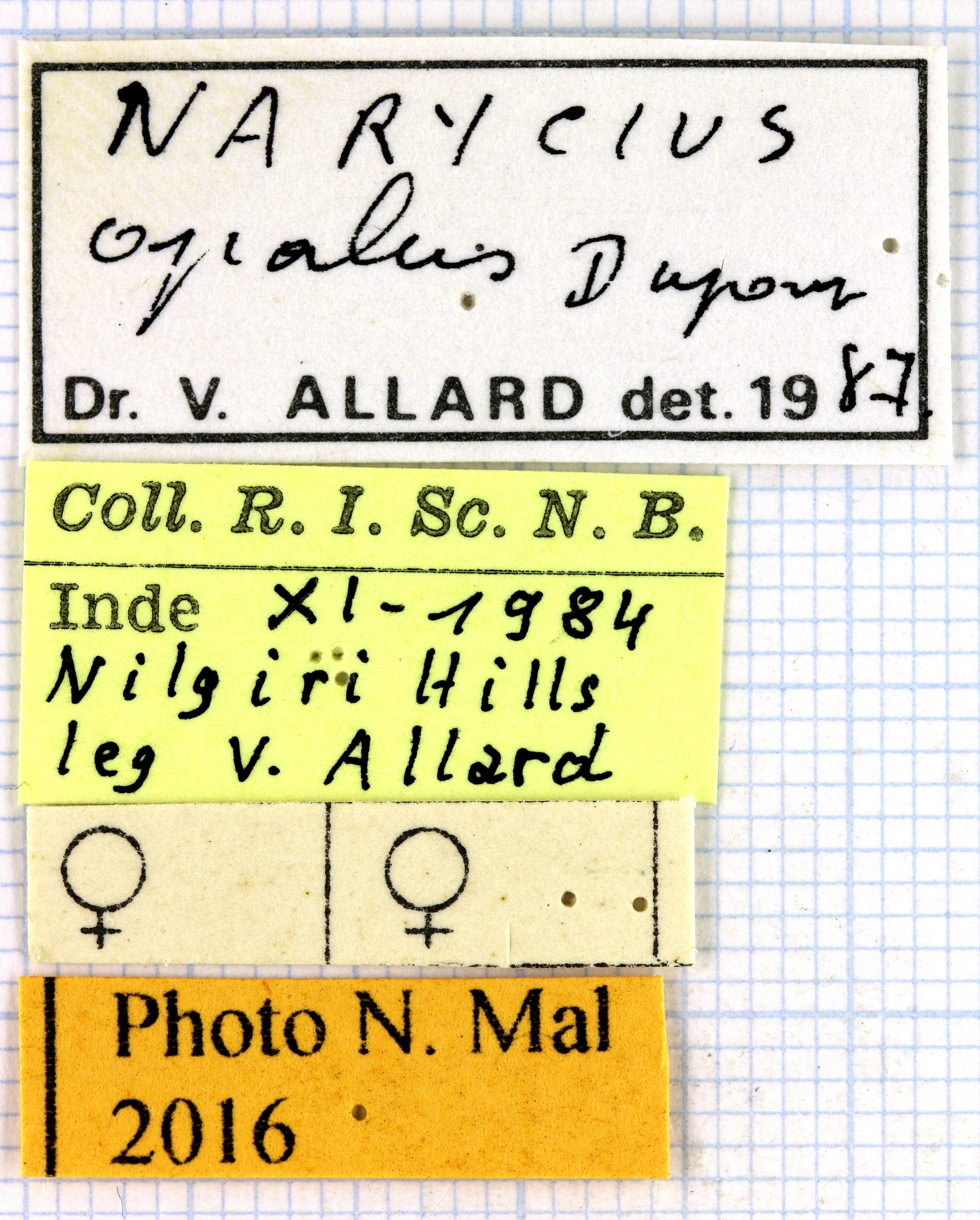 Narycius opalus VA 63002.jpg