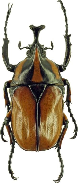 Neophaedimus auzouxi 5644cz50.jpg