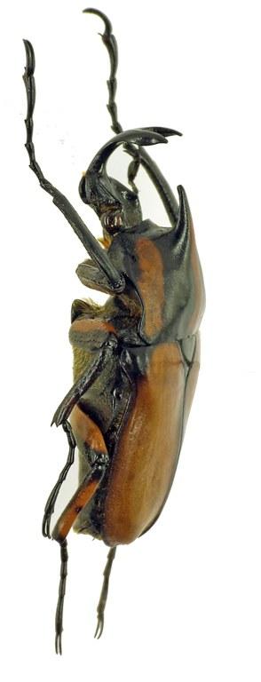 Neophaedimus auzouxi 5933cz35.jpg