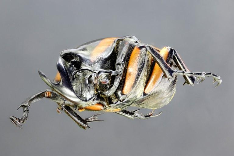 Neophaedimus auzouxi 66354zs95.jpg
