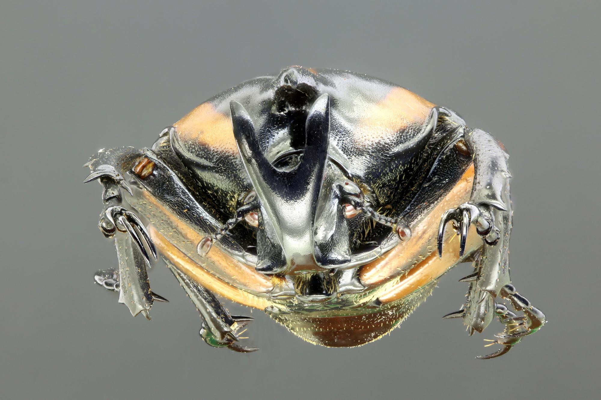 Neophaedimus auzouxi 66396zs33.jpg