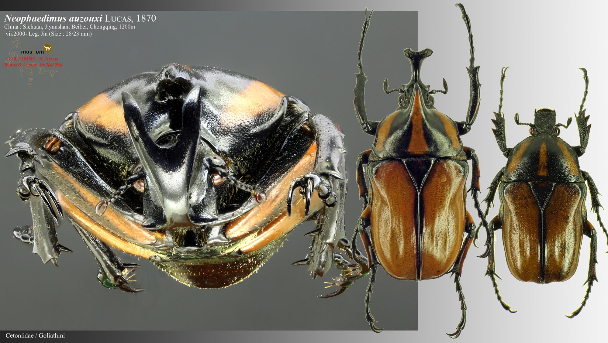 Neophaedimus auzouxi .jpg
