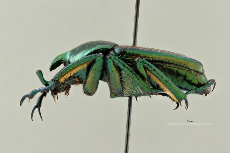 Phaedimus lydiae pt L ZS PMax Scaled.jpeg