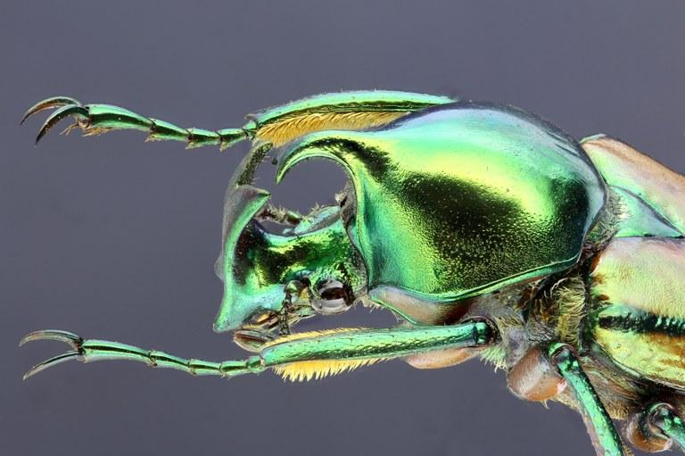 Phaedimus zebuanus 22285zs14.jpg