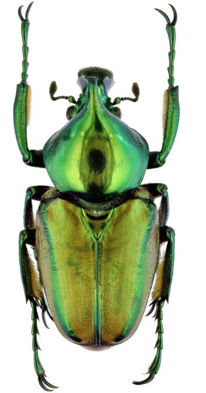Phaedimus zebuanus 22315zs28.jpg