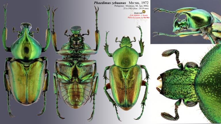 Phaedimus zebuanus.jpg