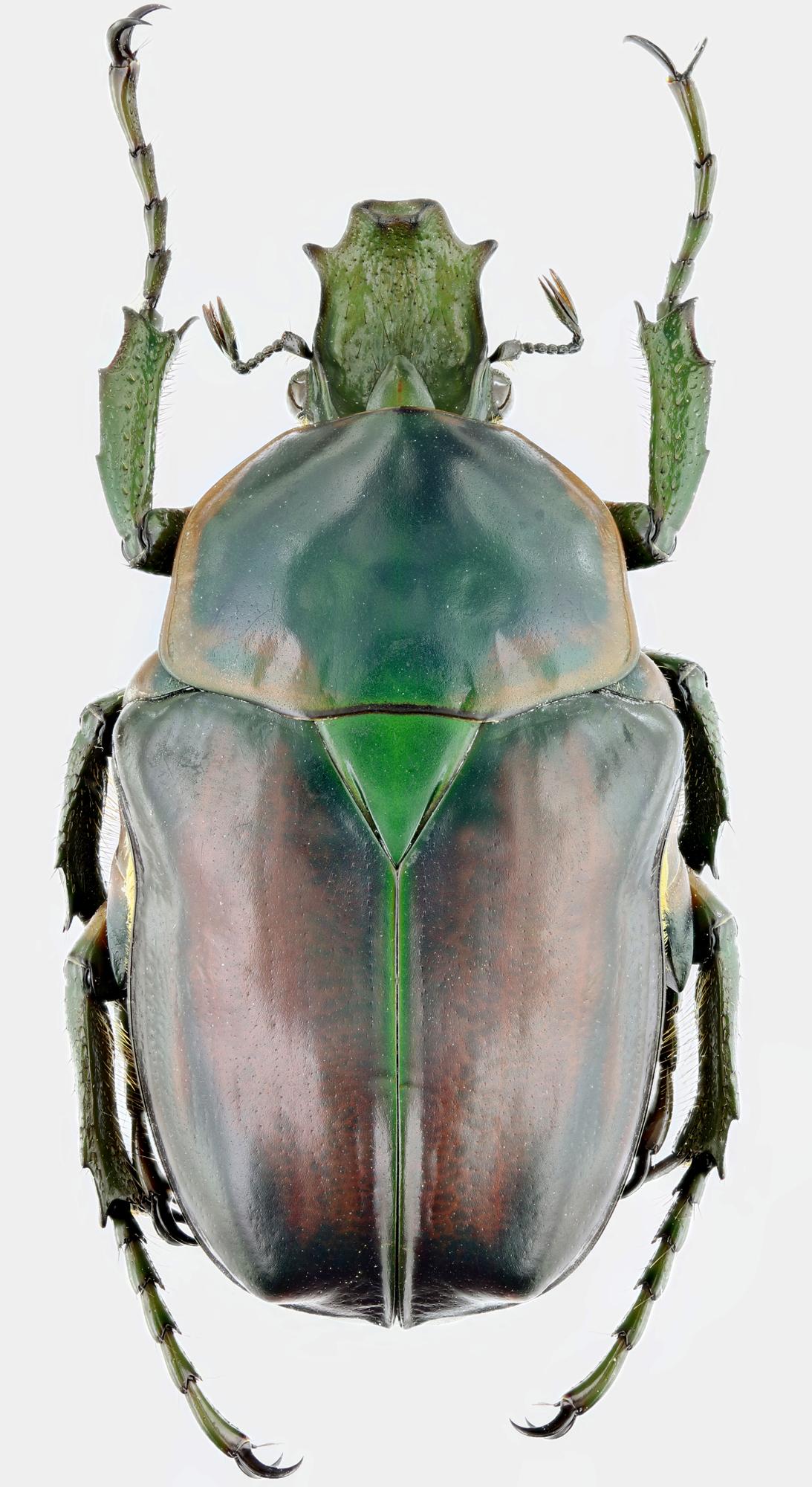 Plaesiorrhina reflexa 22792zs04.jpg