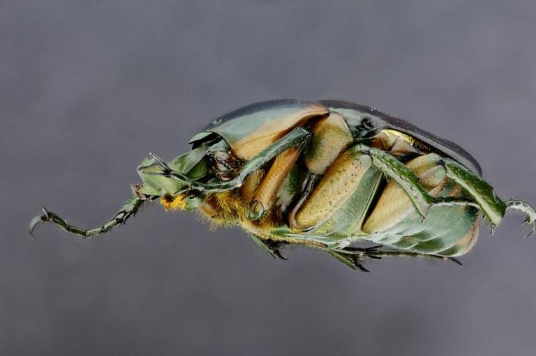 Plaesiorrhina reflexa 22805zs30.jpg