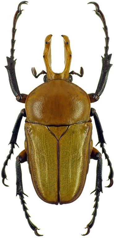 Platynocephalus arnaudi 7259cz64.jpg