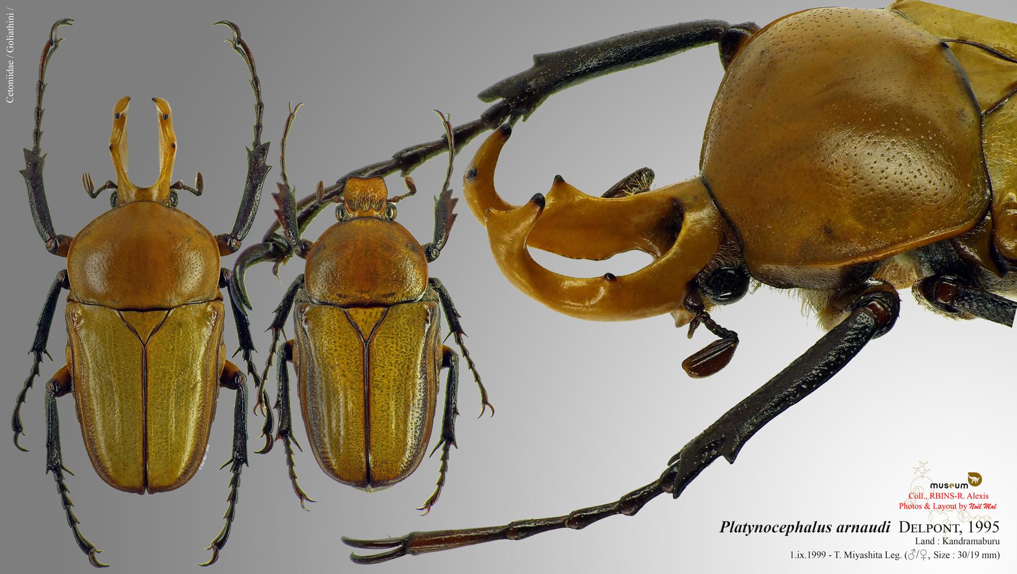 Platynocephalus arnaudi.jpg