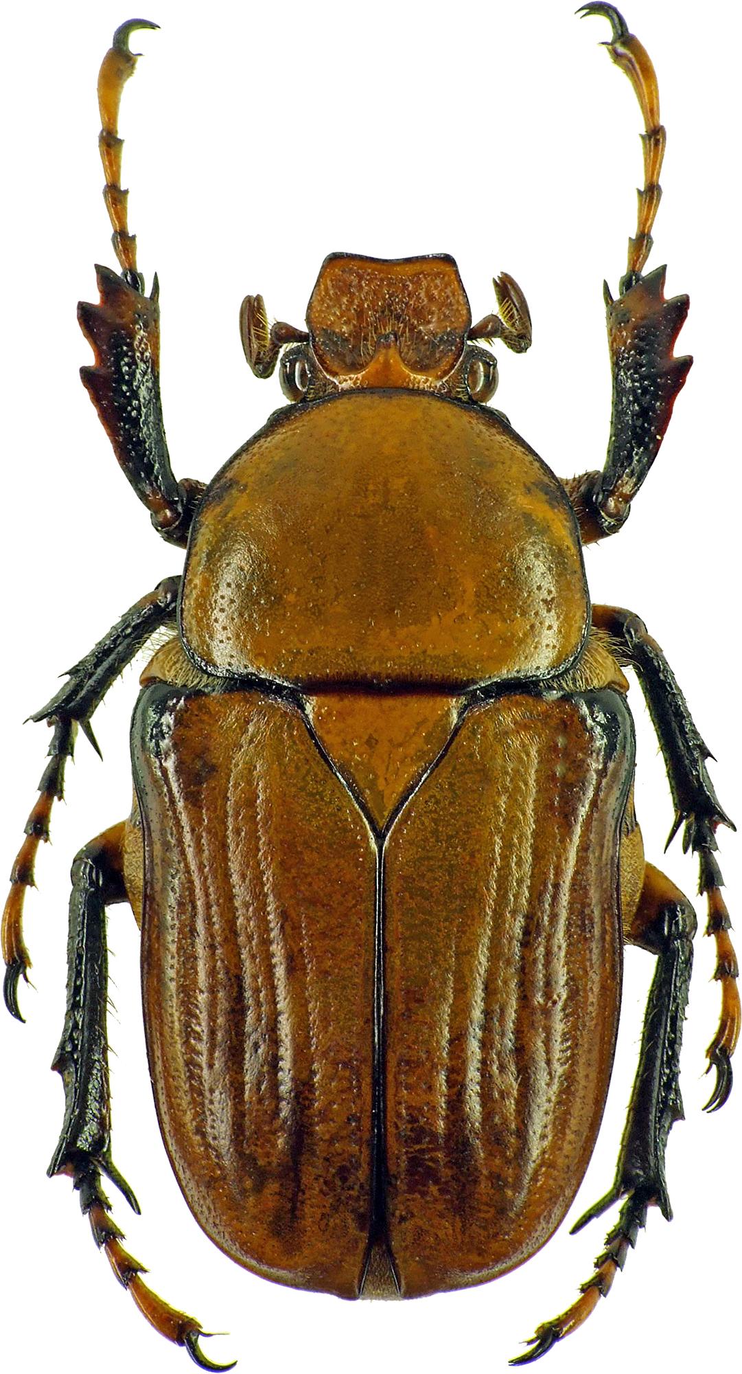 Platynocephalus miyashitai 7273cz78.jpg