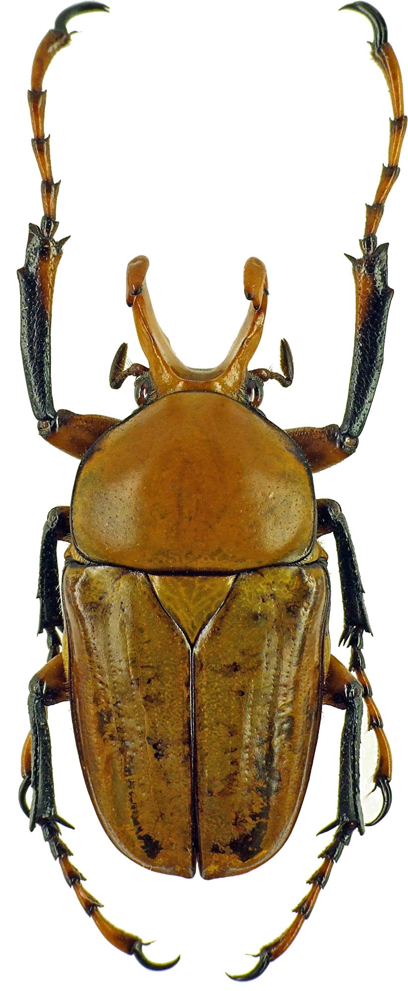 Platynocephalus miyashitai 7269cz72.jpg