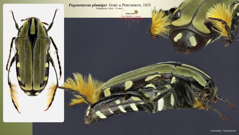 Pogonotarsus plumiger.jpg