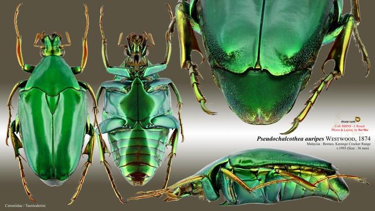 Pseudochalcothea auripes.jpg