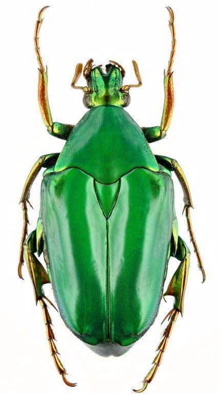 Pseudochalcothea auripes 12730zs41.jpg