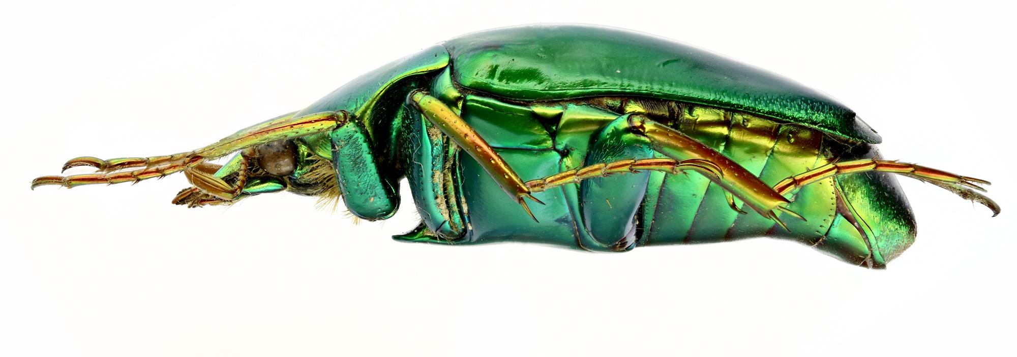 Pseudochalcothea auripes 12761zs72.jpg