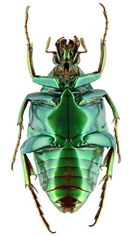 Pseudochalcothea auripes 12773zs79.jpg