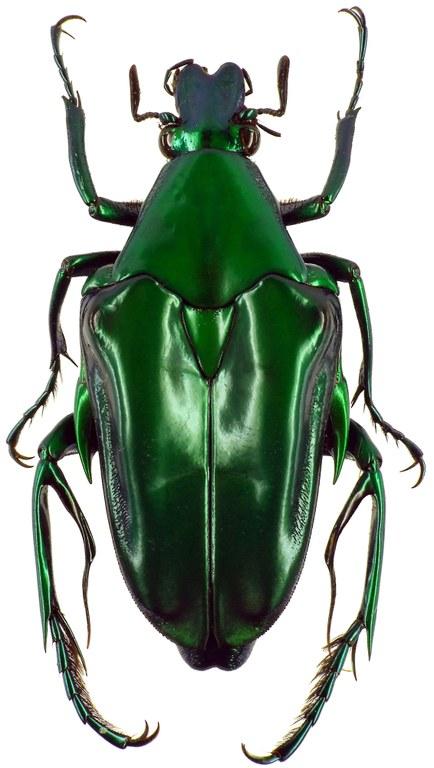 Pseudochalcothea pomacea 10285CZ91.jpg