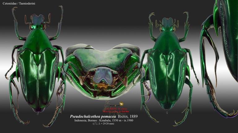 Pseudochalcothea pomacea.jpg