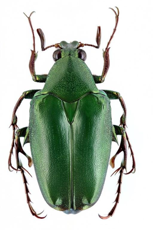 Pseudochalcothea spathulifera 12780zs97.jpg