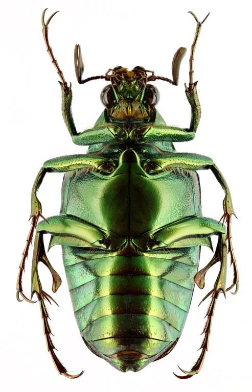 Pseudochalcothea spathulifera 12798zs10.jpg