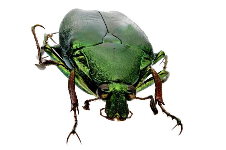 Pseudochalcothea spathulifera 12815zs34.jpg