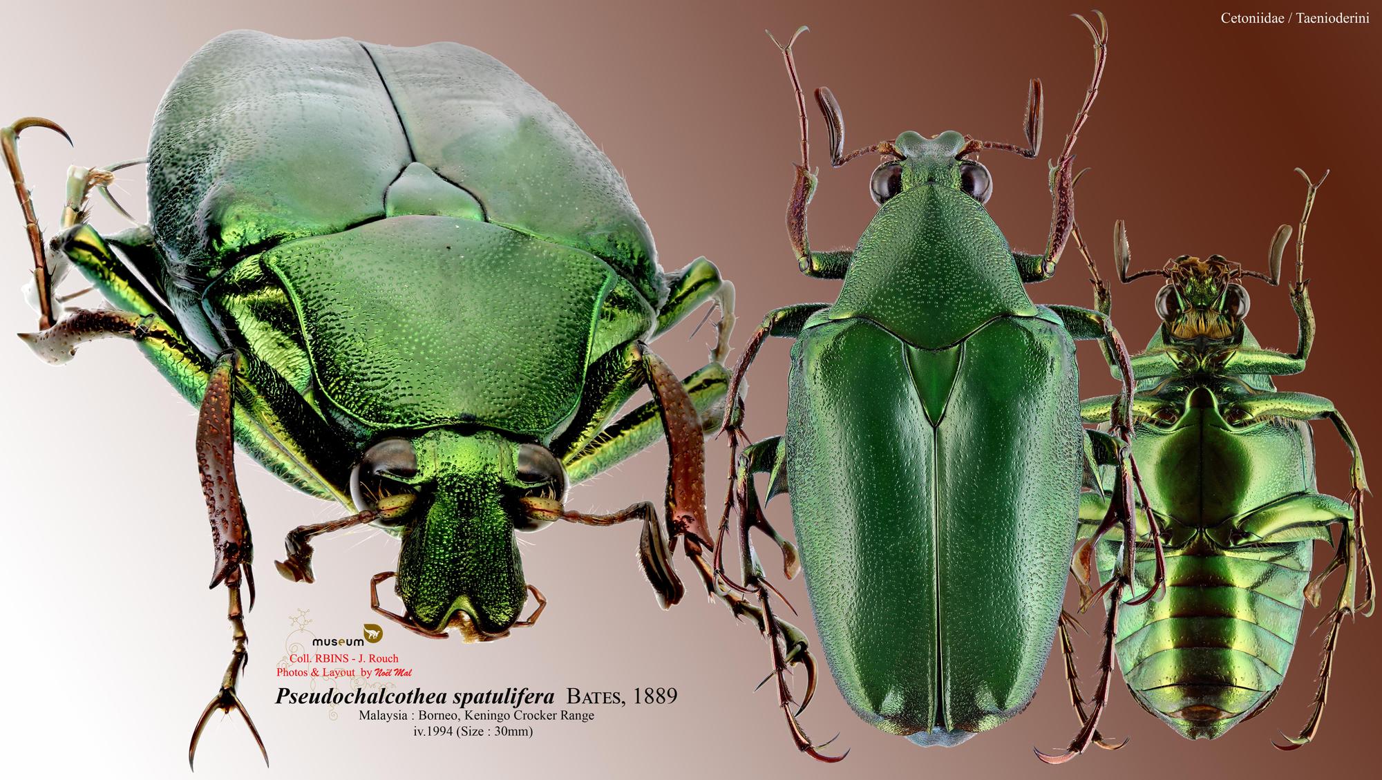 Pseudochalcothea spathulifera.jpg