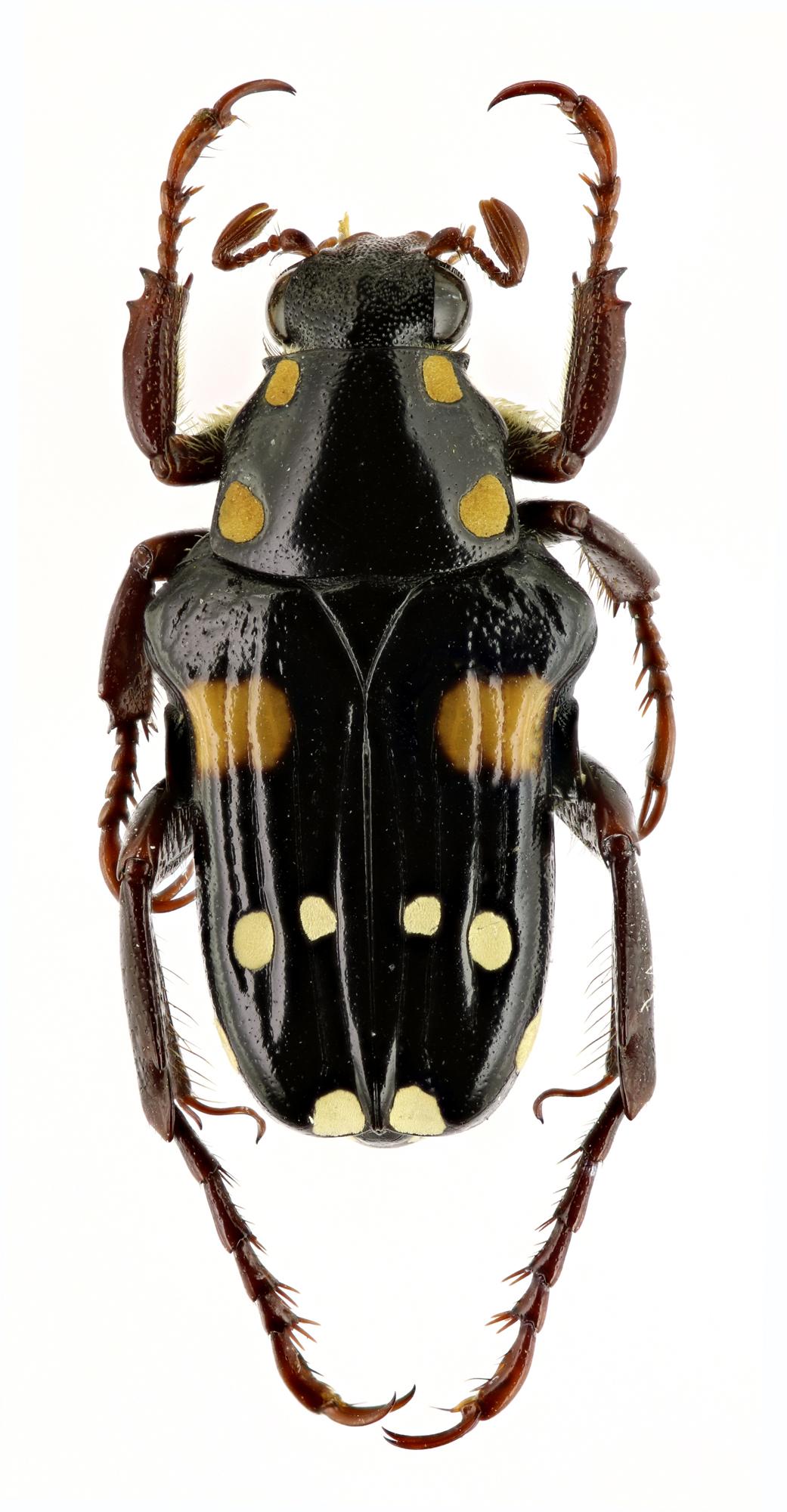 Pygora (Bourgoinigora) quatuordecimguttata 13982zs99.jpg