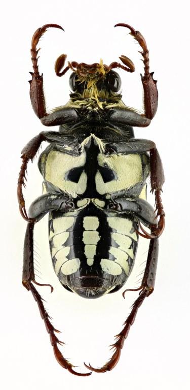 Pygora (Bourgoinigora) quatuordecimguttata 14000zs12.jpg