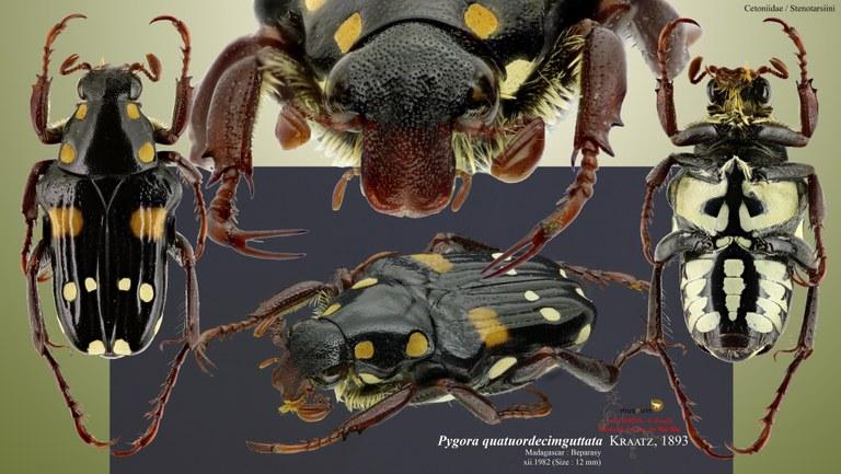 Pygora (Bourgoinigora) quatuordecimguttata.jpg