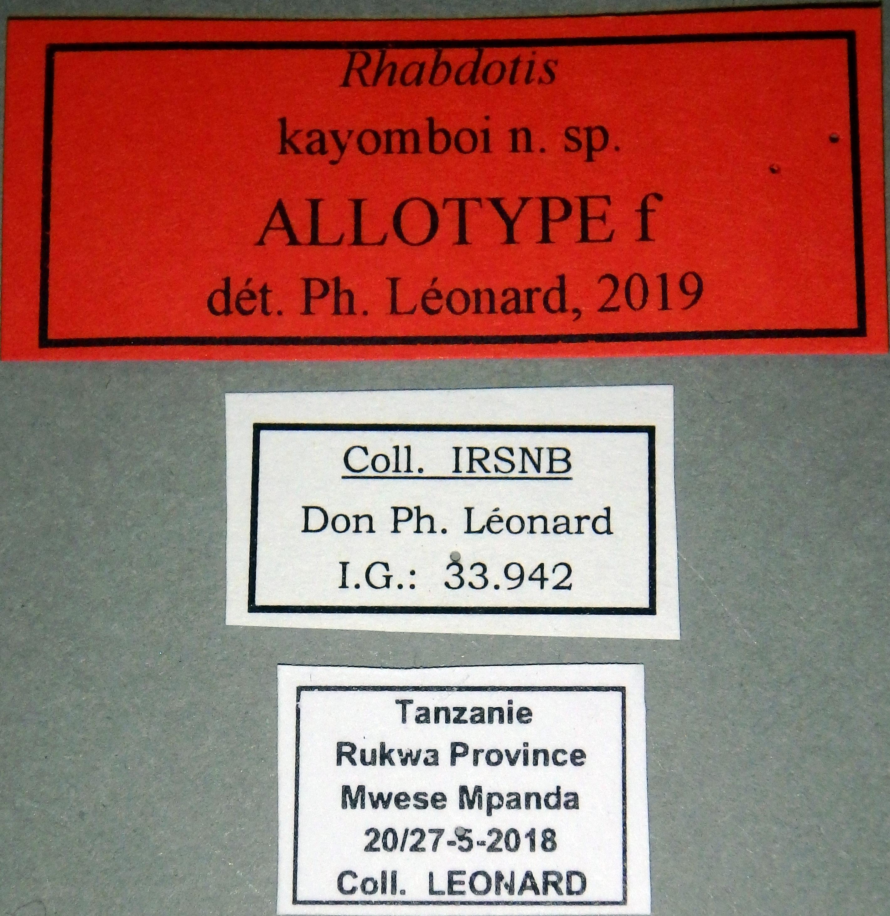 Rhabdotis kayomboi at F Lb.JPG