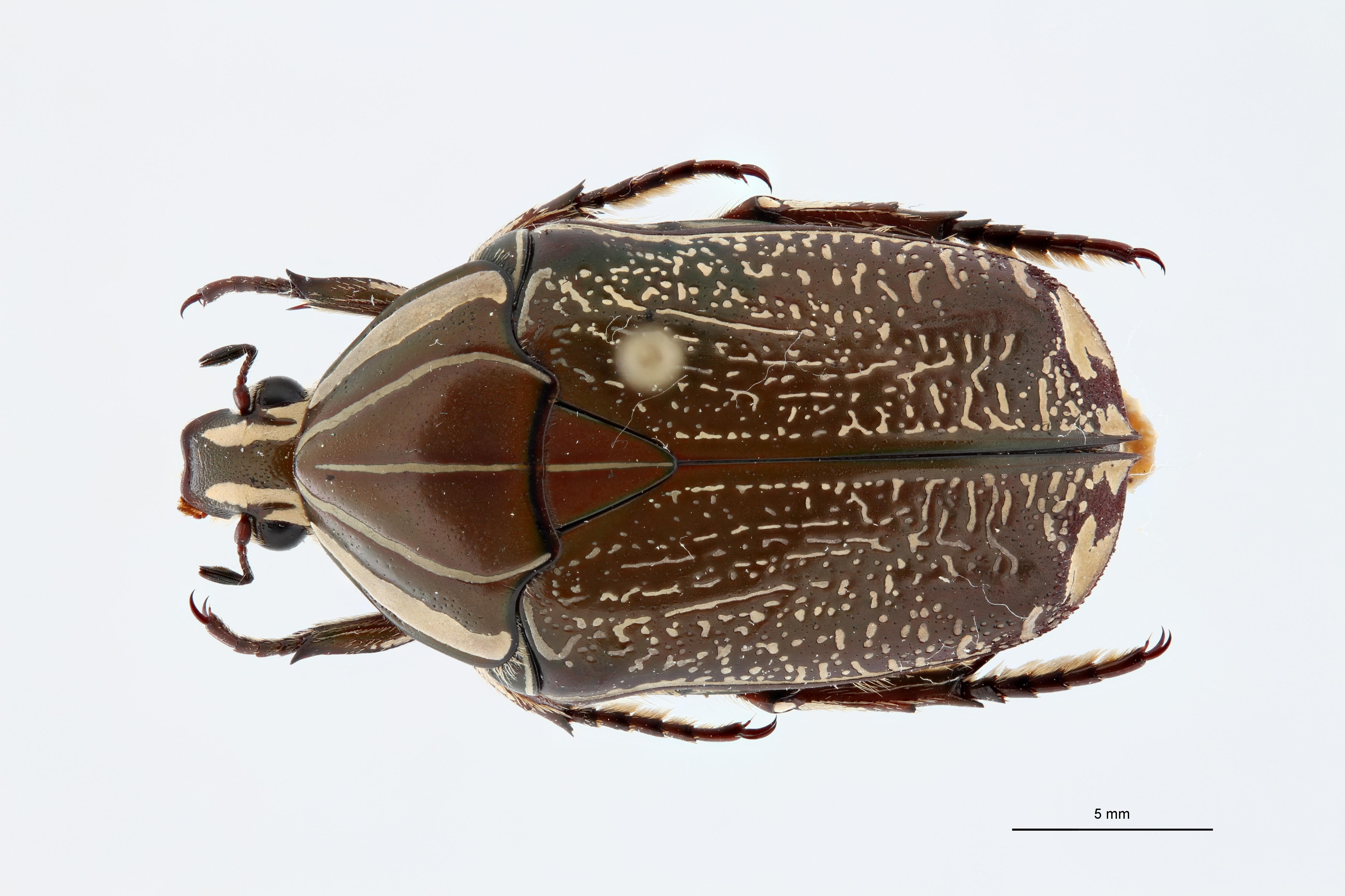 Rhabdotis lorinae ht D ZS PMax.jpg